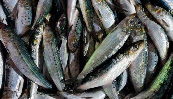 Sardine Sagax